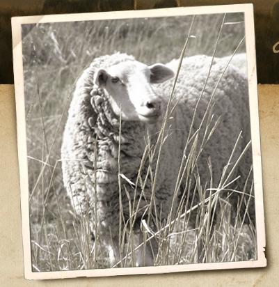 Sheep-Tagless_Polaroid
