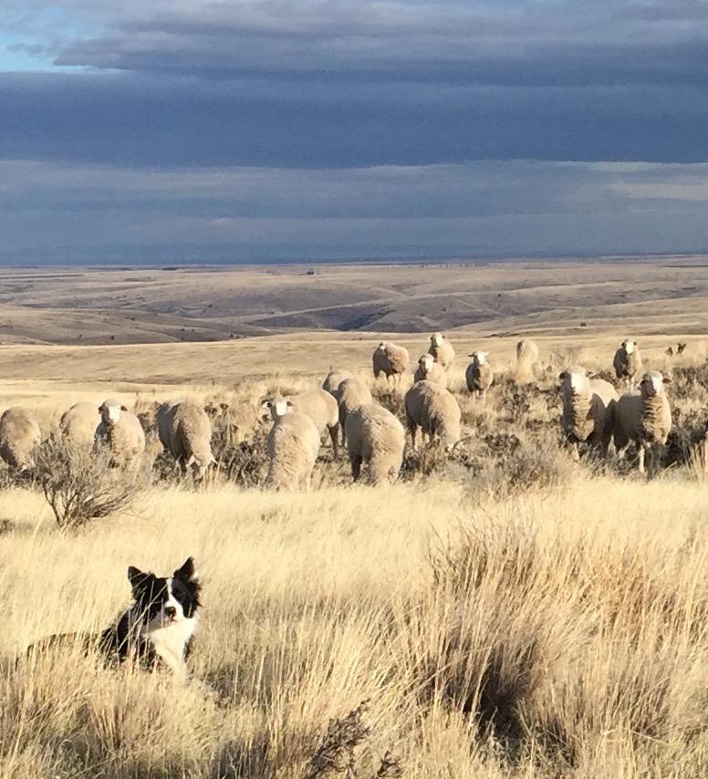 imperial herd